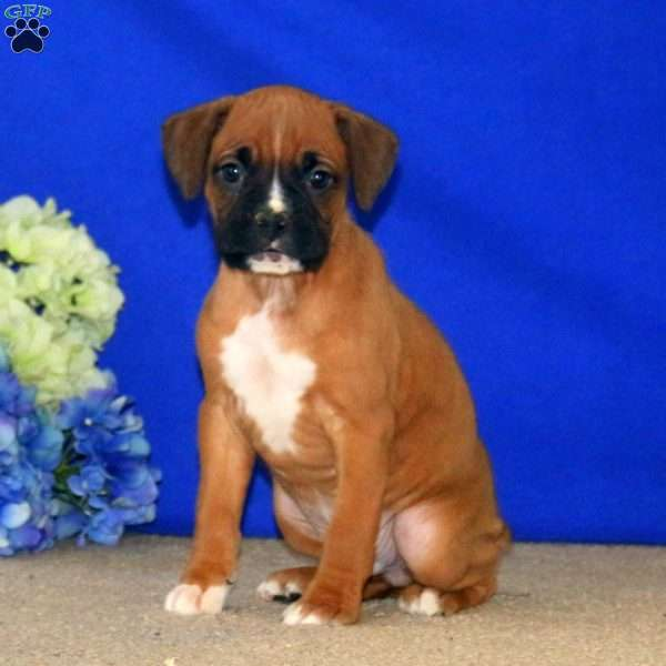 Sonny, Boxer Puppy