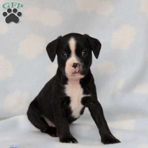 a Boston Terrier Mix puppy named Sparky
