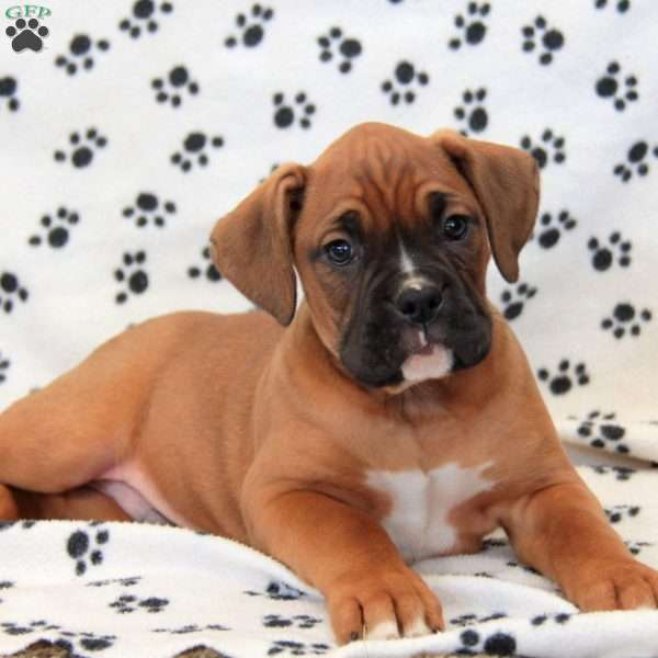Sperry, Boxer Puppy