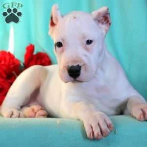 a Dogo Argentino puppy named Sweetie