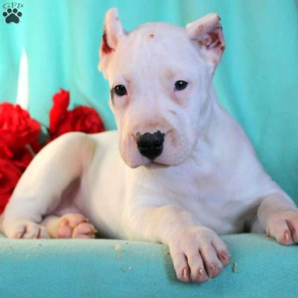 Sweetie - Dogo Argentino Puppy For Sale in Pennsylvania
