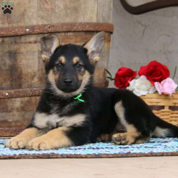 Sweets, German Shepherd Puppy