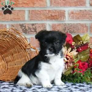 a Jack Russell Mix puppy named Tawny