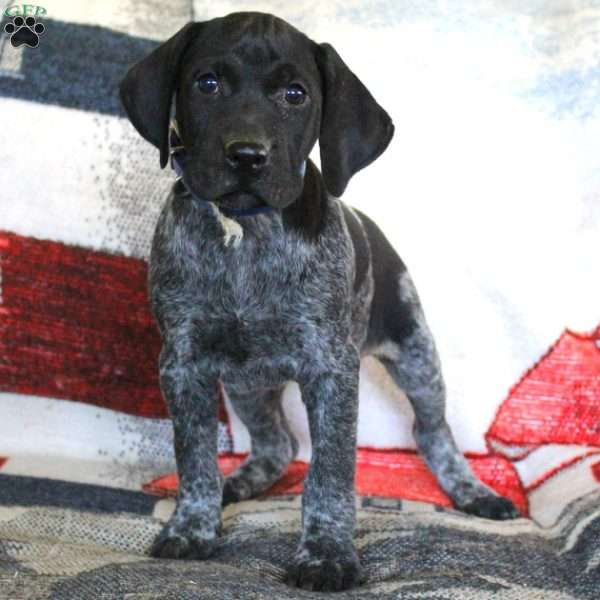 Taylor, German Shorthaired Pointer Puppy