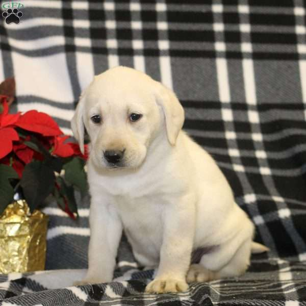 Tessa, Yellow Labrador Retriever Puppy