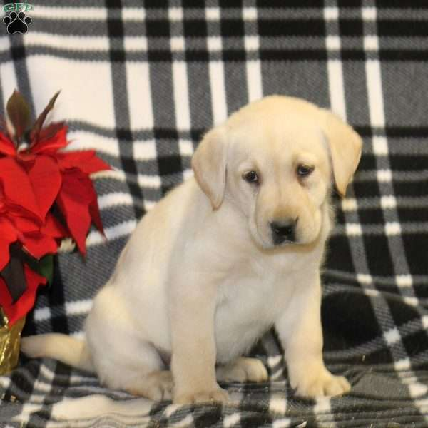 Theresa, Yellow Labrador Retriever Puppy