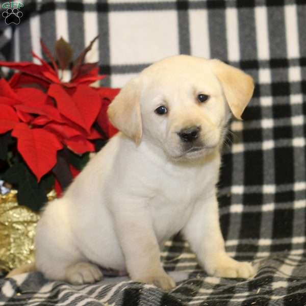 Todd, Yellow Labrador Retriever Puppy