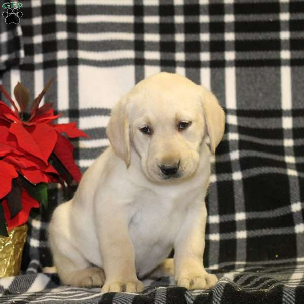 Tommy, Yellow Labrador Retriever Puppy