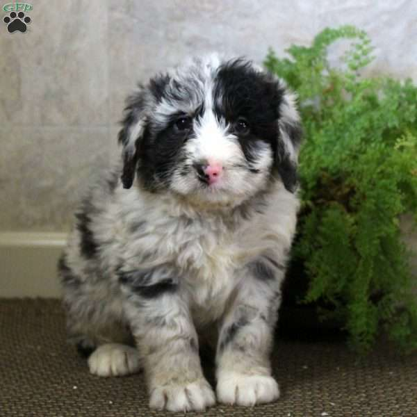 Triscuit, Sheepadoodle Puppy