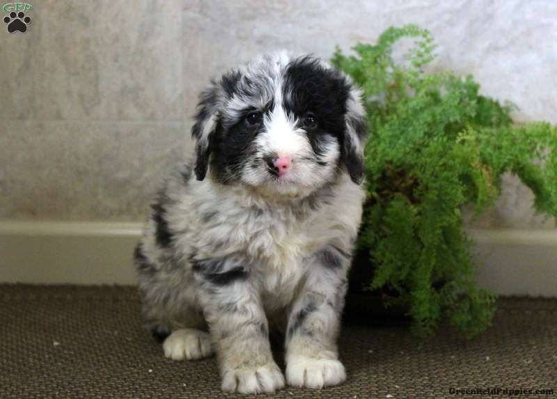 Triscuit Sheepadoodle Puppy For Sale In Pennsylvania