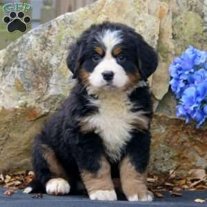 Bernese Mountain Dog Breeders Near Ct - Dog Breed