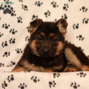 Turvy, German Shepherd Puppy
