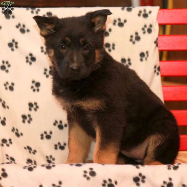 Tussel, German Shepherd Puppy