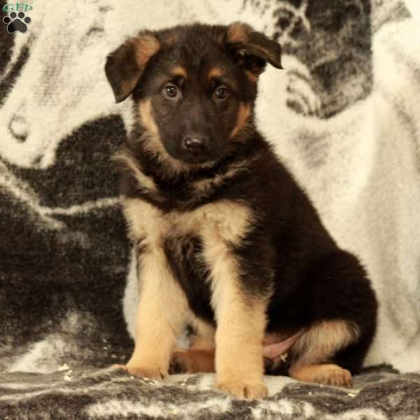 Tyla, German Shepherd Puppy