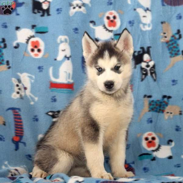 Willow, Siberian Husky Puppy