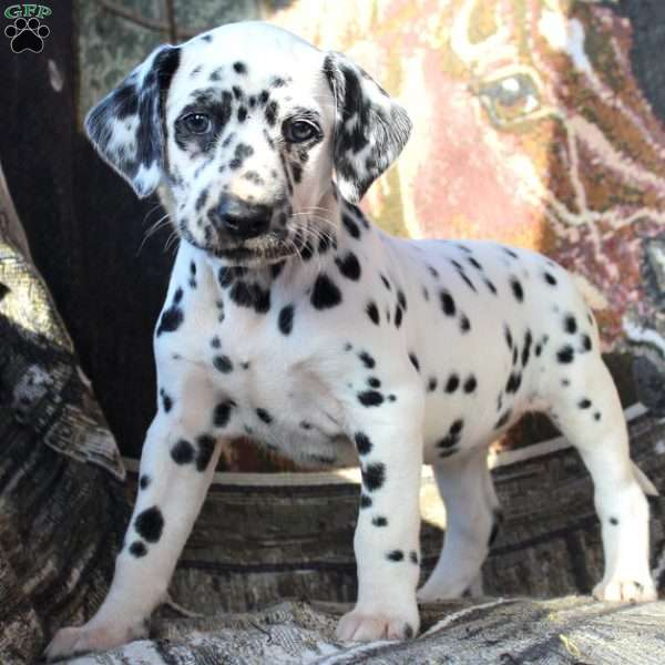 dalmatian puppies for sale michigan