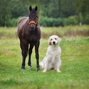 golden retriever and horse in a field