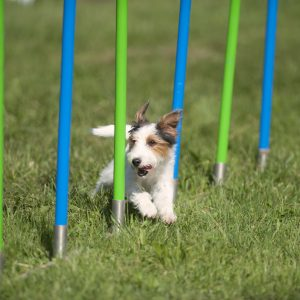 small white and brown dog doing agility training