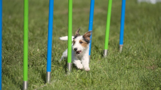 3 Questions to Ask Before Your Dog Starts Agility Training