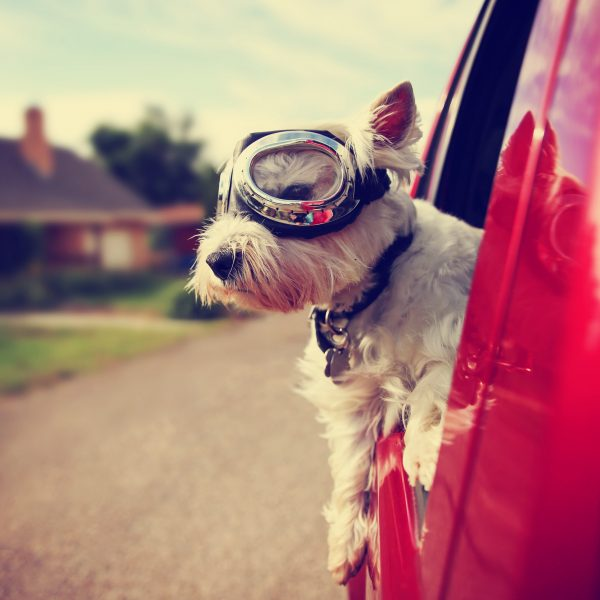 washington dc dog-friendly travel guide - westie with goggles looking out a car window