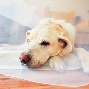 yellow lab with cone after surgery