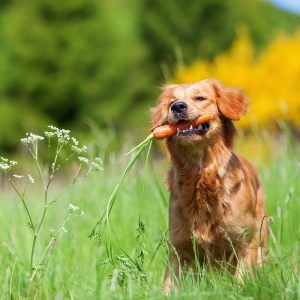 young golden retriever puppy with carrot