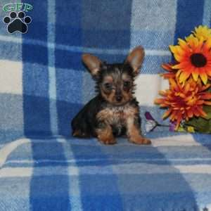 a Yorkshire Terrier puppy named Alex