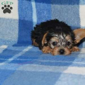 a Yorkshire Terrier puppy named Anthony