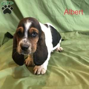 a Basset Hound puppy named Albert
