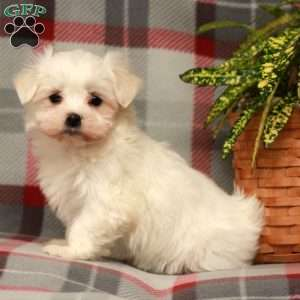 a Maltese puppy named Alice