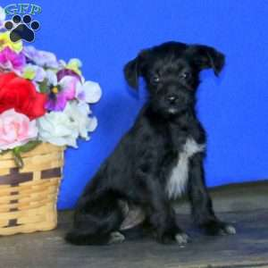 a Toy Poodle Mix puppy named Allison
