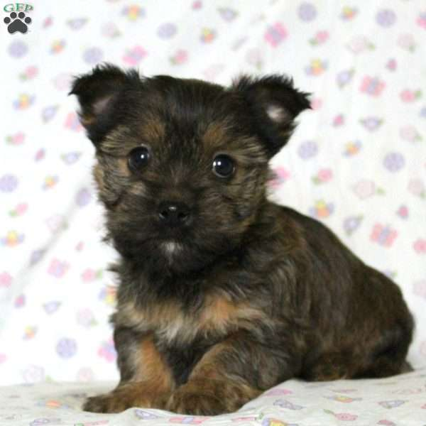 Alyssa - Cairn Terrier Mix Puppy For Sale in Pennsylvania