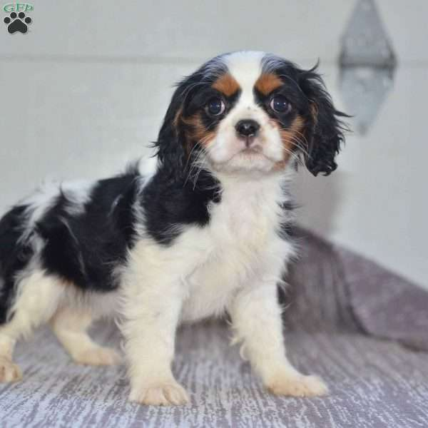 Angie, Cavalier King Charles Spaniel Puppy