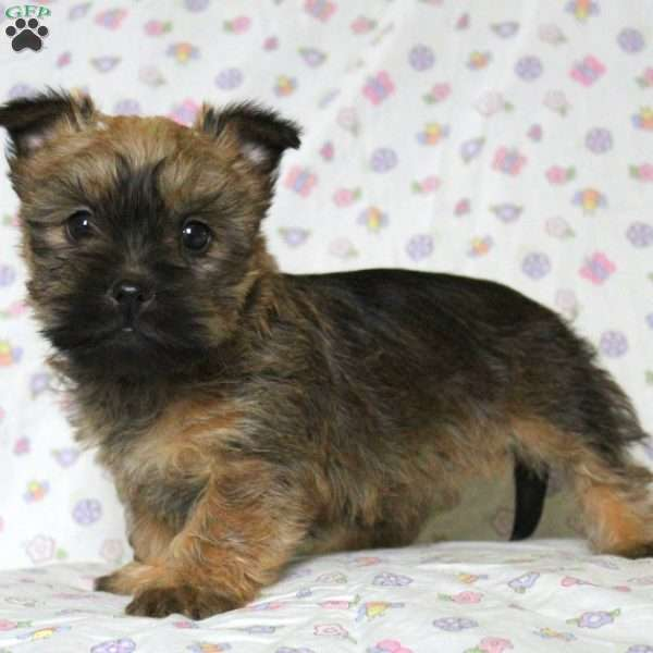 Ashlea - Cairn Terrier Mix Puppy For Sale in Pennsylvania