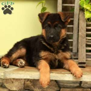 a German Shepherd puppy named Bandy