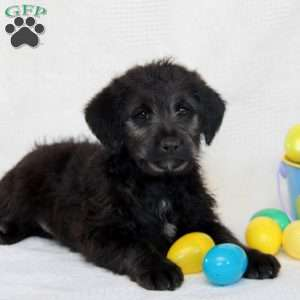 a Miniature Labradoodle puppy named Barney-F1B