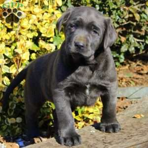 a Charcoal Labrador Retriever puppy named Bella