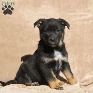a German Sheprador puppy named Bertha