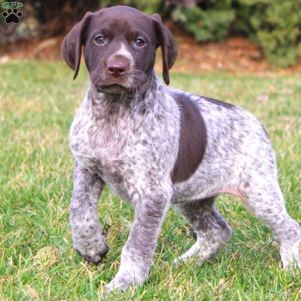 Betsy, German Shorthaired Pointer Puppy