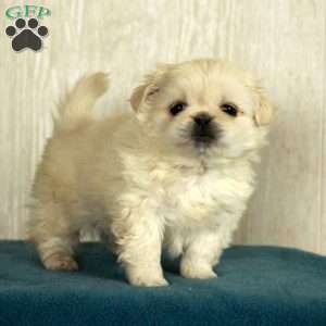 a Pekingese puppy named Branson