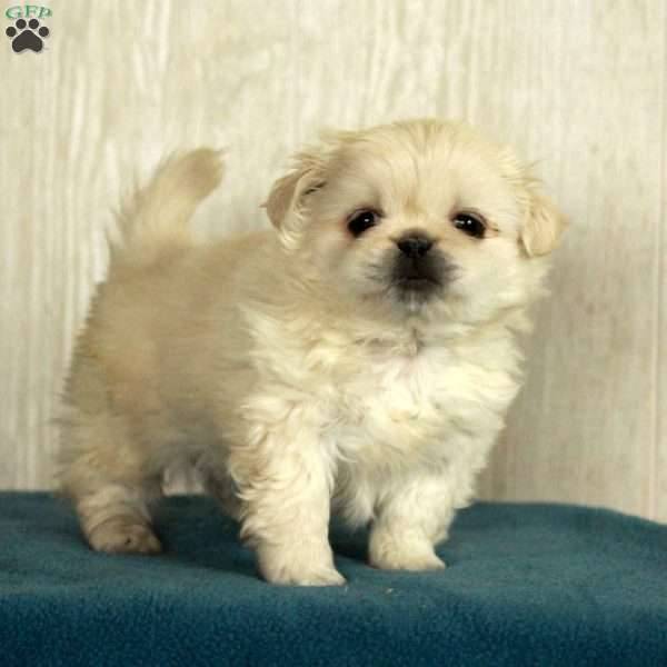 Branson - Pekingese Puppy For Sale in Pennsylvania