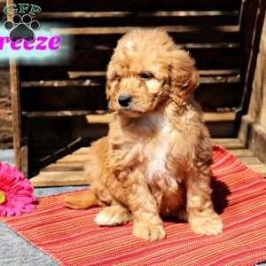 a Goldendoodle puppy named Breeze