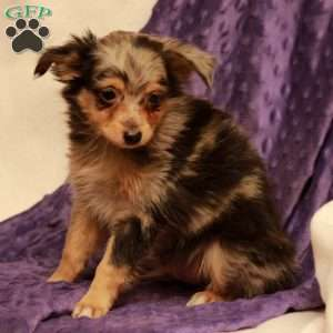 a Toy Australian Shepherd puppy named Bricker