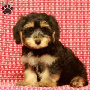 a Yorkie-Chon puppy named Brody