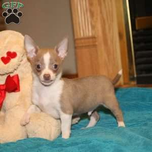 a Chihuahua puppy named Buddy