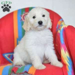 a Goldendoodle puppy named Caleb