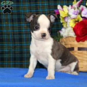 a Boston Terrier Mix puppy named Carson