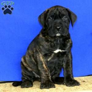 a Presa Canario puppy named Cash
