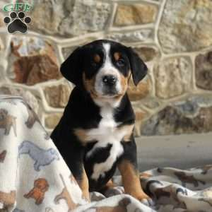 a Greater Swiss Mountain Dog puppy named Charlie