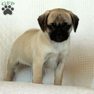 a Puggle puppy named Charlotte